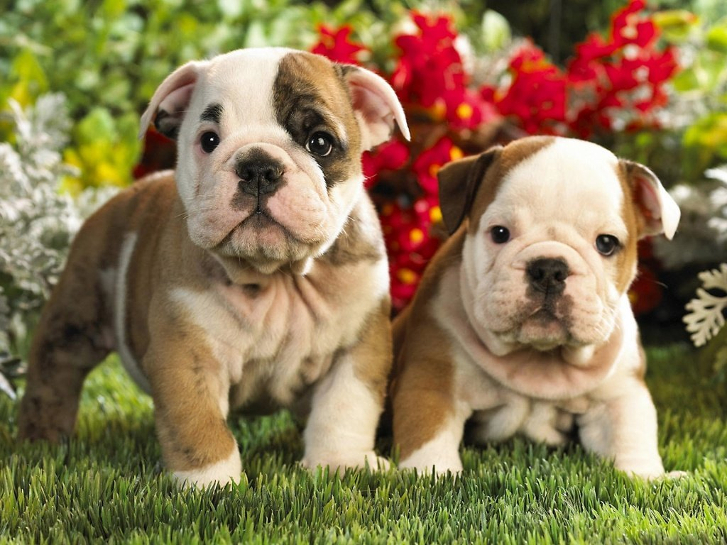 10 Facts You Never Knew About Bulldogs