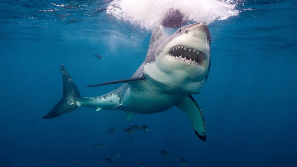 10 Types Of Sharks Responsible For Human Attacks