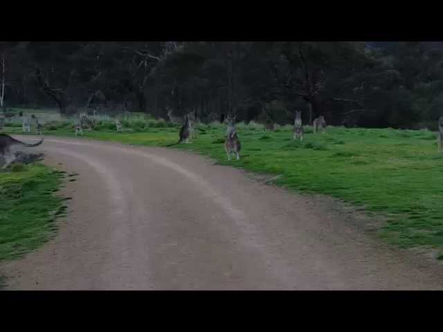 A Normal Bike Ride Turns Into An Awkward Stand-Off Between Man And Kangaroo Army