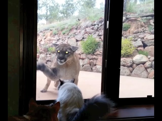 Brave House Cat Stares Down Mountain Lion
