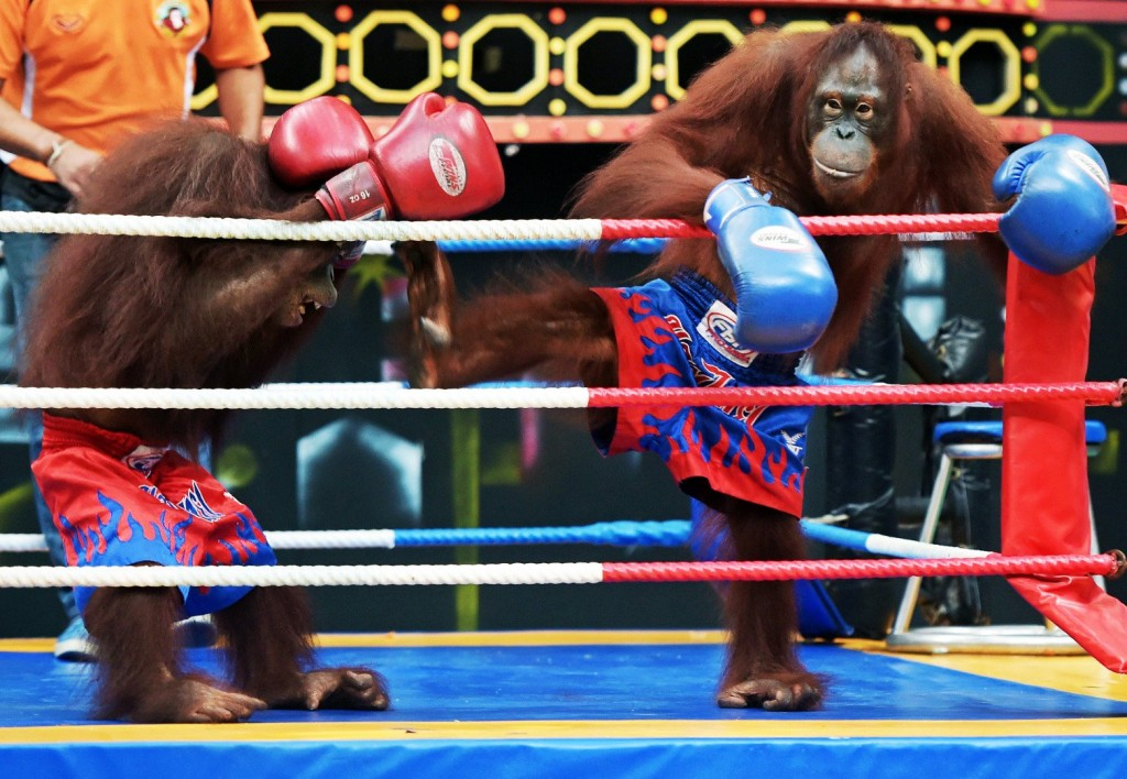Thailand Safari Park Under Fire After Forcing Orangutans To Fight