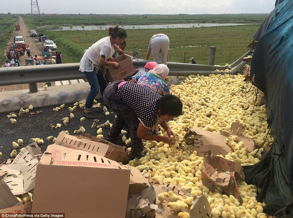 Thousands Of Baby Chicks Escape On Chinese Highway