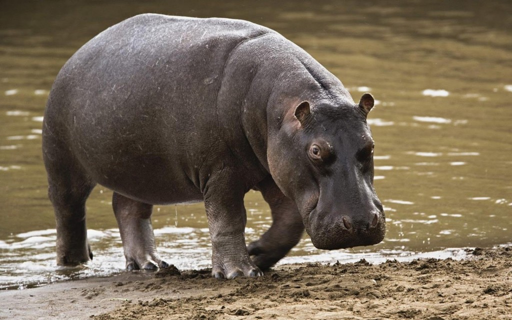 Drunken Man Claims To Have Been Assaulted By Hippopotamus