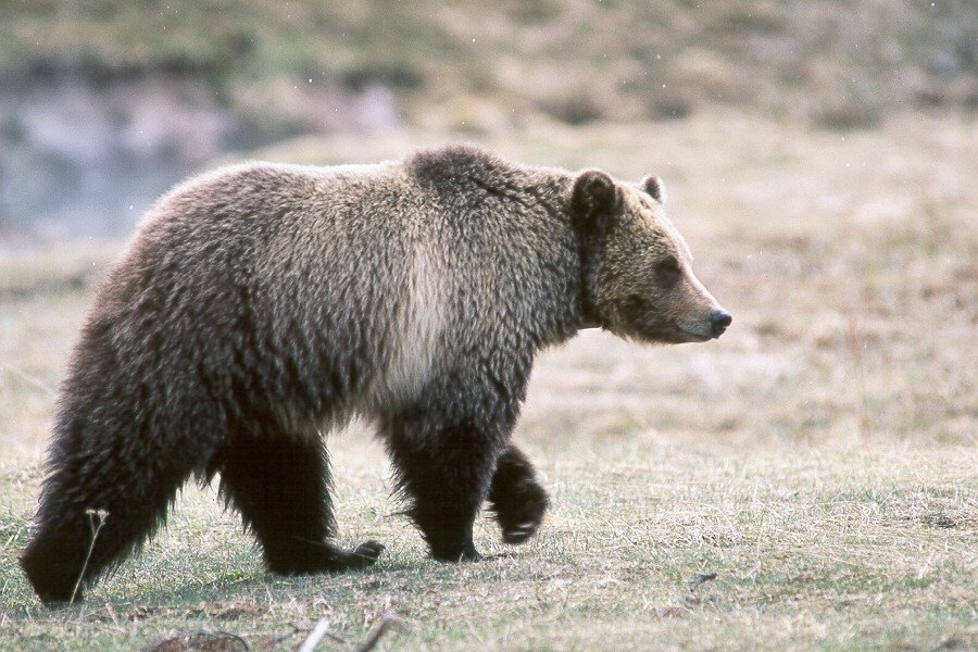 Man Fights Off Grizzly Bear Attack By Shoving His Arm Down Its Throat