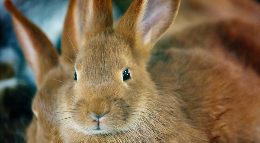 Rabbit Population Spirals Out Of Control In Washington Town